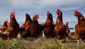 Multa de 18 mil pesos por tenencia de gallinas en un barrio de Villa de Merlo Merlo