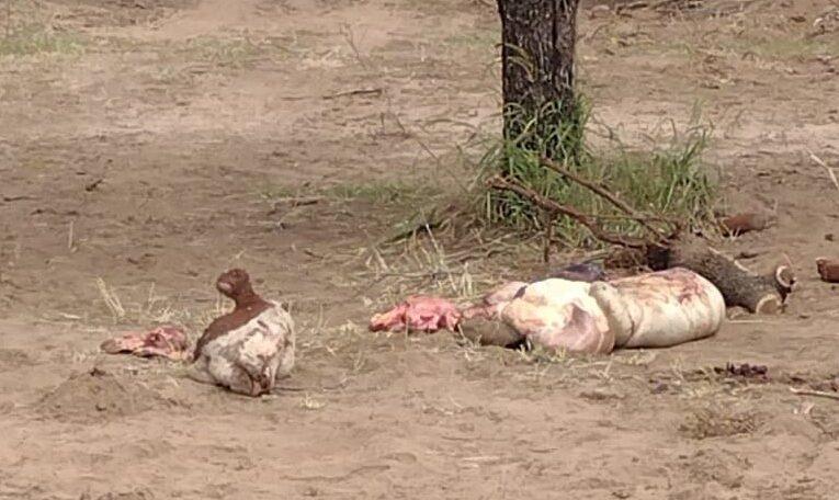 Villa de la Quebrada: La Policía investiga matanza y faena de 11 animales vacunos